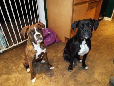 German Shepherd and Boxer Puppies